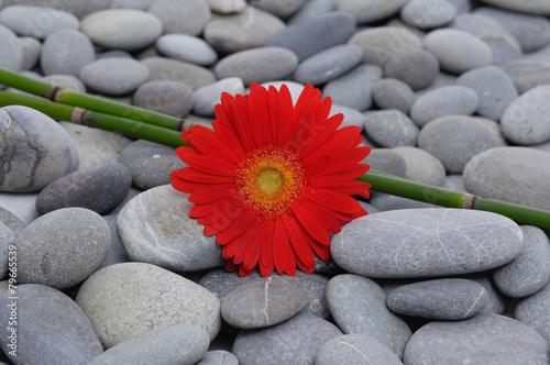 Foto op Plexiglas Gerbera Red gerbera with bamboo grove on pebbles