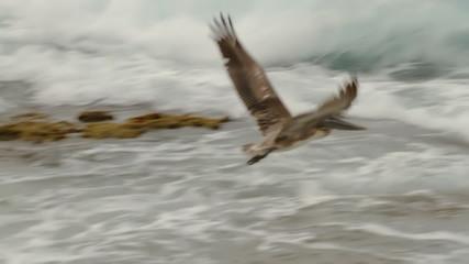 Pelican Flying Slow Motion