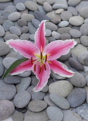 single beautiful lily on gray stones background