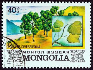 Desert Poplar tree, Populus diversifolia (Mongolia 1982)