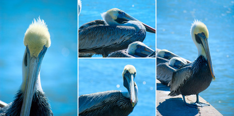 Extra large format pelican collage at seashore