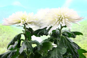 beautiful bright flower chrysanthemum as an ornamental plant
