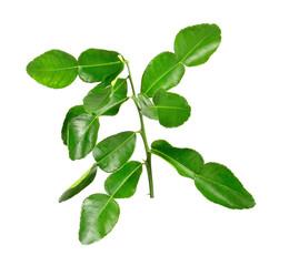 Bergamot leaves on white background