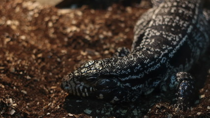 Big Tegu Lizard