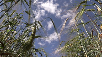 Ripe barley barleycorn plant crops ears move in wind