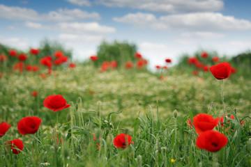 red poppies flowers field spring season