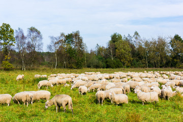Sheep with lambs at a pasture.  sheep grazing