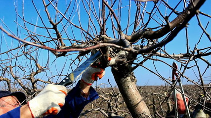 Pruning of orchards