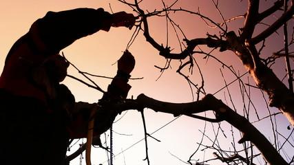 Fruit grower pruning fruit trees