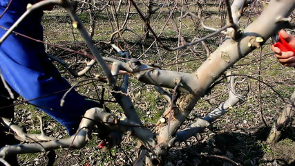 Spring pruning in the orchard