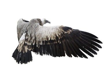 Griffon Vulture  on white background  isolate