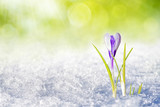 Crocus in sping
