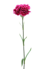 Pink carnation isolated on white background