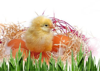 one little chicken in a nest isolated on white