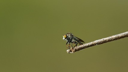 a robber fly is flying and return to stand on the twig
