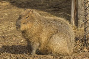 Capybara with eyes closed
