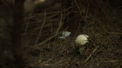 Mushroom in Conifers Forest