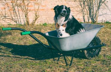 Dog sitting in wheelbarrow