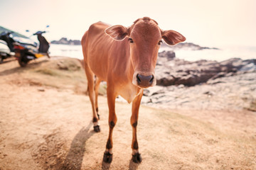 Cows on a beach.