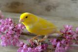 Fototapeta Canary  bird.