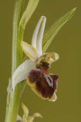 Bee Orchid, (Orchis sphegodes), Spain