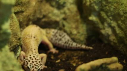 The Leopard Gecko Lizard