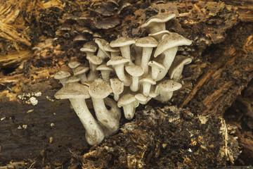 Lyophyllum conglobatum growing on a dead trunk