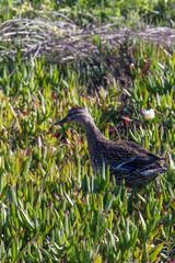 duck in a field of flowering aloe vera plants