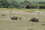 A couple of ostriches in De Hoop nature reserve