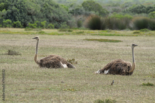 Foto op Canvas Struisvogel A couple of ostriches in De Hoop nature reserve