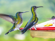 hummingbirds in Brazil