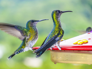 hummingbirds in Brazil