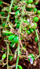 Green and unripe cardamom pods with flower
