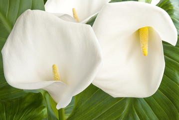 Three calla on leaf