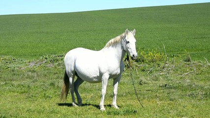 White horse in the countryside, staying relaxed