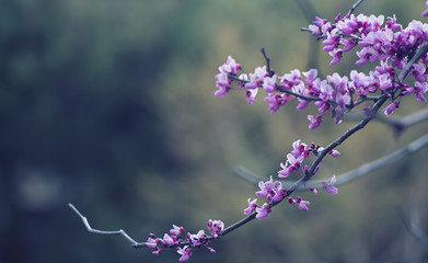 The branch of Cercis with pink flowers