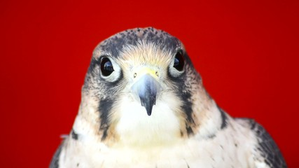 Falco tinnunculus head with gray spots