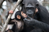 Female chimpanzee with a baby. Funny frame.