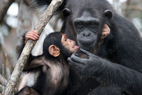 Foto op Canvas Aap Female chimpanzee with a baby. Funny frame.