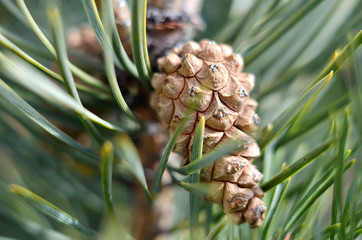 Brown pine cone and needles