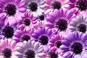 Purple background created from daisy flower bloom