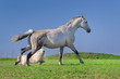 Grey horse play with dog