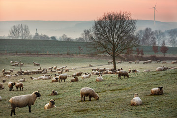 Flock of sheep on the grazing land