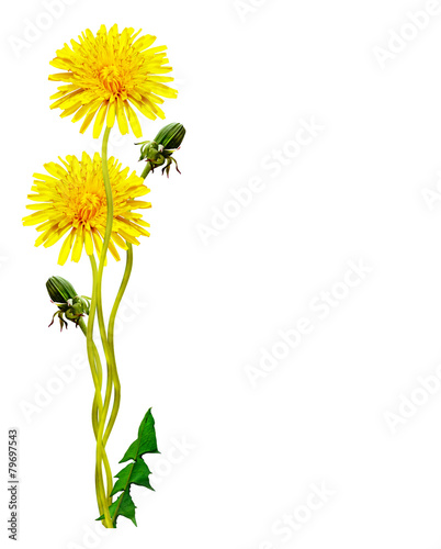 Papiers peints Pissenlit dandelion flowers isolated on white background