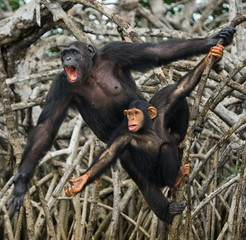 Female chimpanzee with a baby. funny picture