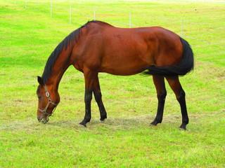 Farm animal brown horse on pasture