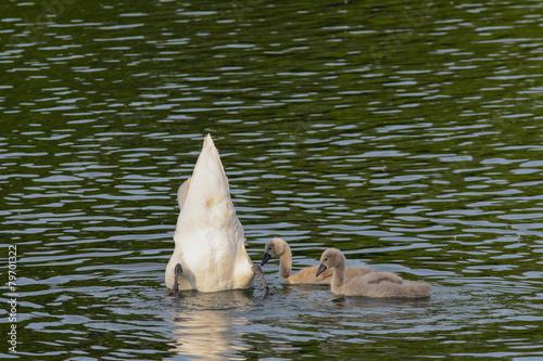 Swan Höckerschwan mit Junge