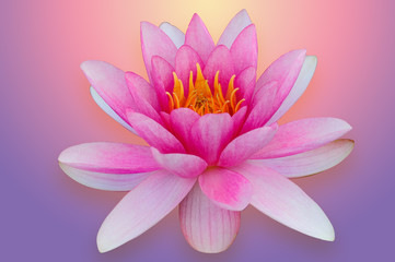 Lotus water lily isolated with clipping path pink and purple