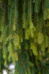 Fir tree branch close up