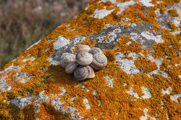 Snail shell on a rock covered with moss lichen orange